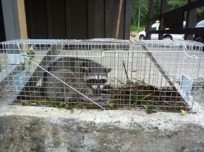Raccoon 1_Sept 2010