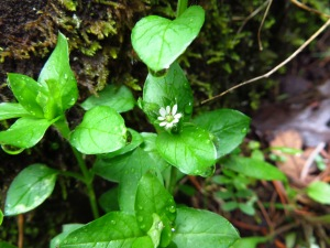 Chickweed_L&C