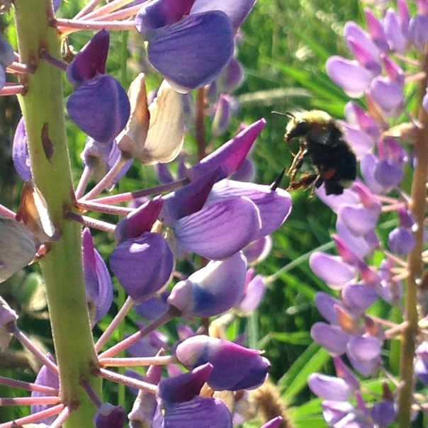 Bumble Bee_Leaving Flower
