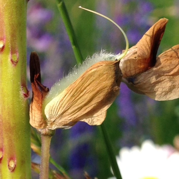 Lupine_Seed in Dried Flower