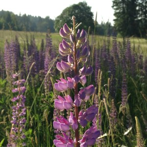 Lupines_Field of in Early Evening